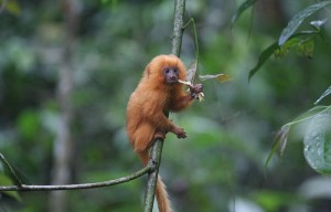 Years ago, scientists found golden lion tamarins, once thought to be extinct, and bred them in captivity. Tamarins are still endangered in the wild because of threats to their habitats, according to the International Union for Conservation of Nature Red List of Threatened Species.  (Stuart Pimm, Duke University/Associated Press)